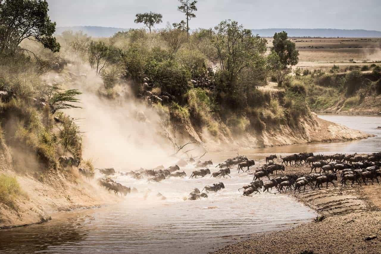 Wildebeest crossing the Mara river in the Masai Mara Game Reserve FotoClass